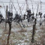 Gefrorene Weintrauben im Kamptal