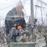 Weinlese bei Eis und Schnee im Kamptal